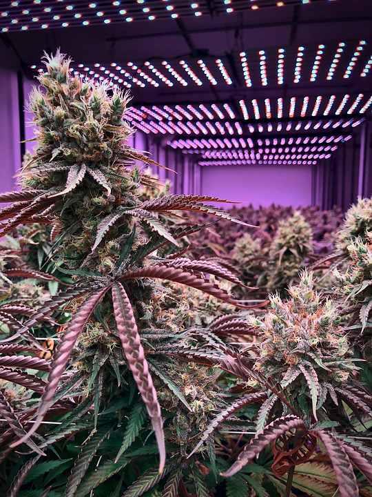 marijuana viola purple marijuana