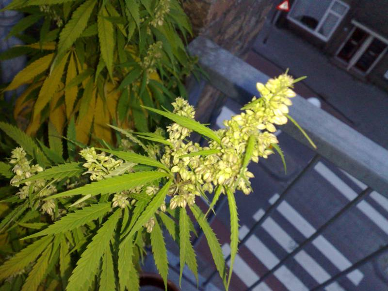 pianta di cannabis maschio