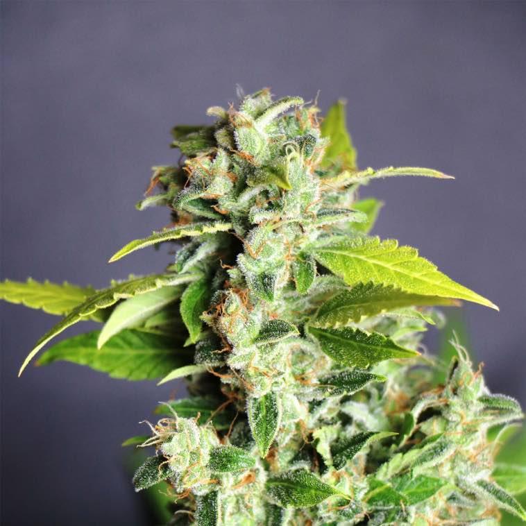 coltivazione mango Haze light