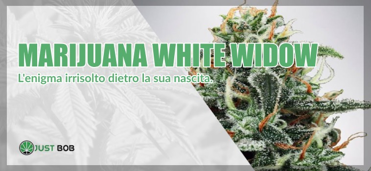 origini White Widow marijuana